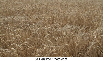 Waving grain in gold colored field