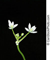 Star of Bethlehem - Stem of a Star of Bethlehem...