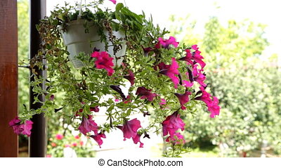 petunia flowers - beautiful petunia flowers