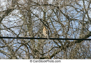 High Wire Red Tailed Hawk - A red tailed hawl perched high...