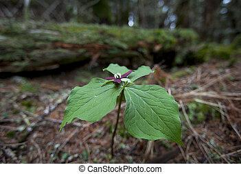 Trillium - A Trillium flower in spring.