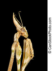 Cone-headed Mantid - Close-up portrait of a cone-headed...