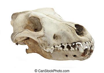422, 犬, 頭骨