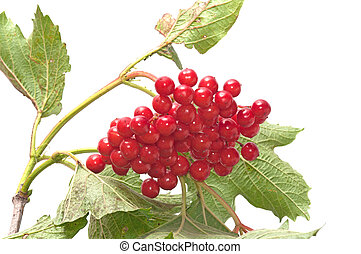 Arrowwood. - Guelder-rose branch on a white background.