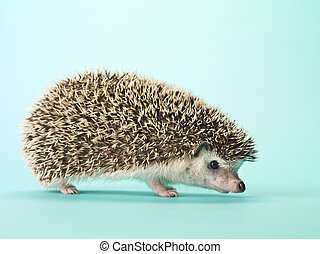 close up of a hedgehog - Close-up of a hedgehog isolated on...