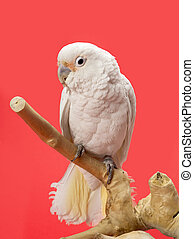 cockatoo - Portrait of cockatoo in a branch with red...