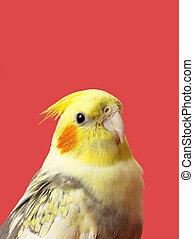 cortado, imagen, amarillo, loro