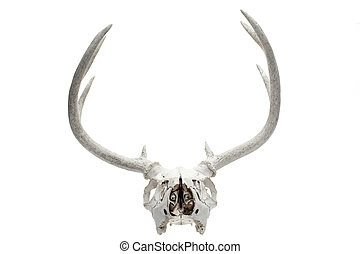 deers, 頭骨