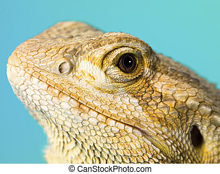 detailed image of a bearded dragons head - Detailed image of...