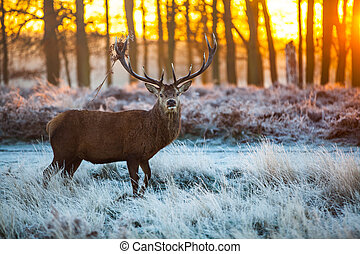 Red Deer in Morning Sun. - Beautiful forest landscape with...