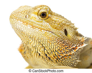 head shot of a lizard - Head shot of a dragon lizard in a...