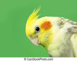 northern cardinal bird face - Northern cardinal bird face...