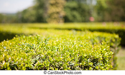 Ornamental boxwood - Garden scenery with a close view of the...