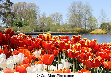 Tulips by lake - Multi coloured tulips by lake at Canberra...