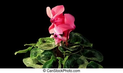 Flowering pink cyclamen on the black background (Cyclamen...