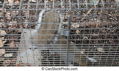 trapped squirrel - a young squirrel is caught in a humane...