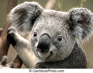 koala on the tree - Close-up image of a Koala holding on the...