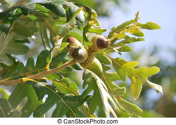 acorns in an oak