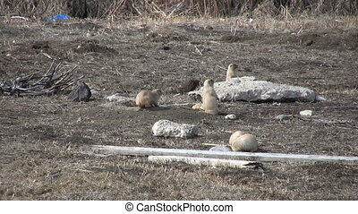 Prairie Dogs - a small group of prairie dogs scurrying...