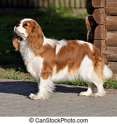 Young cavalier king charles spaniel blenheim a coat - Photo...