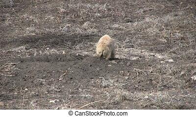 Prairie Dog at Burrow - a prairie dog at its burrow
