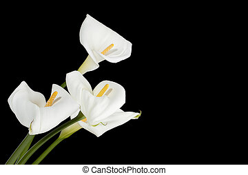 calla lilies against dark background - Close-up shot of...