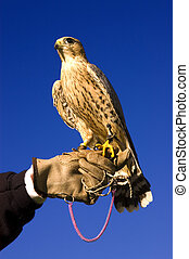 falcon and handler - Falconer with Peregrine Falcon...