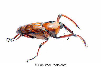 Bamboo snout beetle