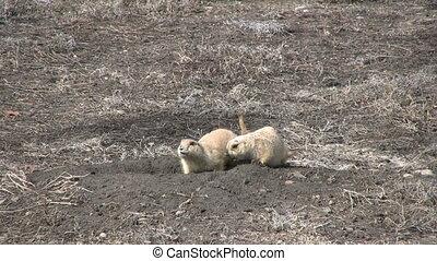Prairie Dogs - a pair of prairie dogs outside their burrow
