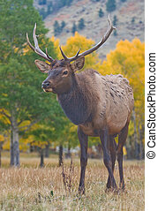 Elk - A bull elk standing in Rocky Mountain National Park in...