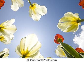 郁金香, 花園, 戶外, 藍色, 天空, 陽光, 花, 花,...