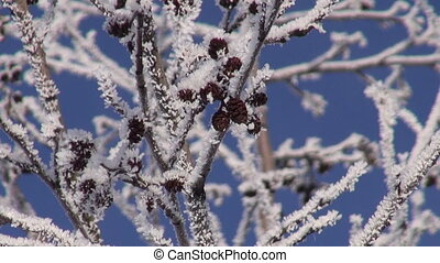 beautiful hoarfrost on alder Alnus incana tree and blue sky...