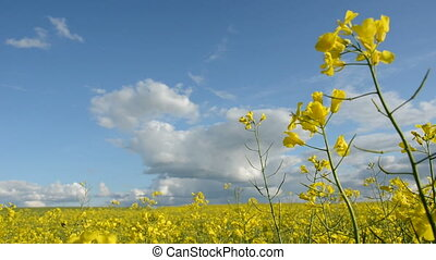 beautiful summer rape field panorama and wind