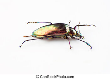 Ground beetle isolated on a white background