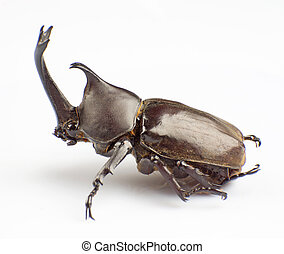 Hercules Beetle - The Hercules Beetle isolated on a white...