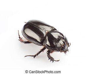 Dung beetle - The dung beetle isolated on white background
