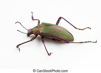Ground beetle - The ground beetle isolated on a white...