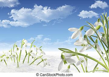 galanthus - schneeglckchen im frhling