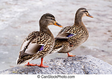 Female Friends - Two Female Mallards stand in the sunlight,...