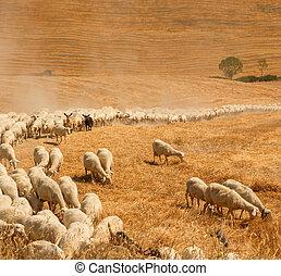 rebanho, sheep, campo, Tuscany
