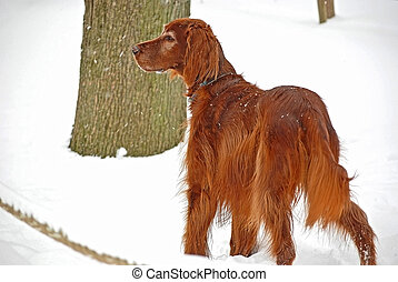Irish Setter in snow - Irish setter in the snow