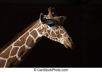 giraffe - head of giraffe against the black background