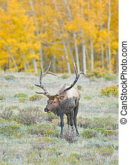 elk - A bull elk in fall colors in Colorado