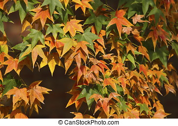 maple leaves - beautiful maple leaves