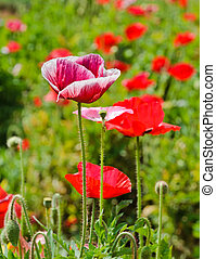 Opium poppy flower in field