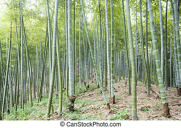 the bamboo of a forest outdoor in china