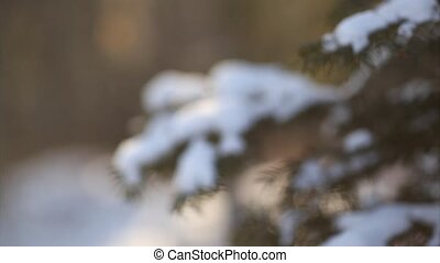 Fir tree branches - slide and focus - Fir tree branches with...