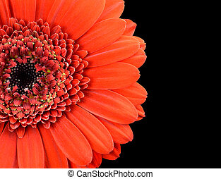 Red Marigold Flower Part Isolated on Black