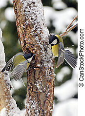 Great tit - 2 great tits fighting over the food
