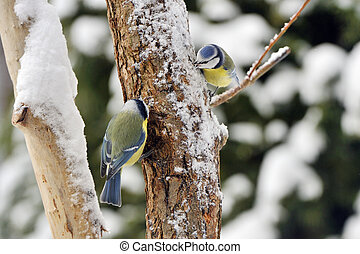 2 Blue tits on a winter, on a tree.